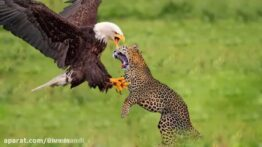 حیات وحش، شکار برای بقاء حمله عقاب برای شکار گراز