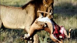 حیات وحش، شکار کردن شیر و کروکودیل