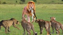 حیات وحش، ورود شیرها به قلمرو یوزپلنگ ها حمله شیر برای شکار
