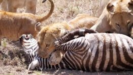شکار بی رحمانه گورخر توسط شیر های گرسنه