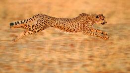 شکار حیواناتز سریعترین حیوانات در جهان! یوزپلنگ