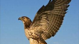 شکار حیوانات وحشی توسط عقاب تیزبین