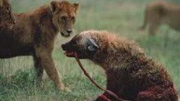 شکار حیوانات وحشی کفتار ها و سگ های وحشی حیوانات