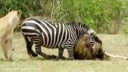 شکار وحشیانه تمساح به گورخر