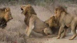 فیلم مستند دیدنی جنگ و شکار شیرها و حیوانات حیات وحش افریقا