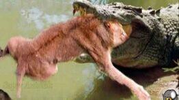 مستند حیات وحش از جنگ حیوانات وحشی و شکار شدن شیر توسط تمساح