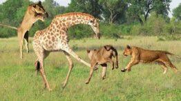 مستند حیات وحش شکار بچه زرافه توسط شیرها