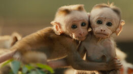 مستند کوتاه از زندگی میمون ها