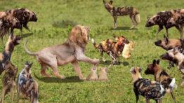 نبرد سگهای وحشی با حیوانات وحشی