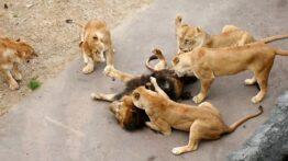 پیر شدن شیر ها در حیات وحش