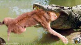کلیپ شکار حیوانات – حیوانات وحشی – جنگ و نبرد حیوانات