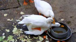 جفت گیری وحشتناک 5 اردک نر با 1 اردک ماده