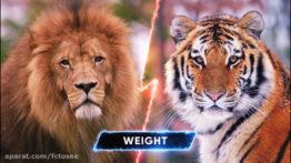 جنگ و نبرد شیر و ببر در حیات وحش