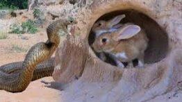 حمله مار پیتون به لانه خرگوش _ نبرد حیوانات وحشی
