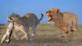 حیات وحش، تلاش شکارچیان برای بقاء از شیر تا پلنگ