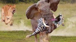 حیات وحش، حمله حیواناتشکست شیر از بوفالوترس پلنگ