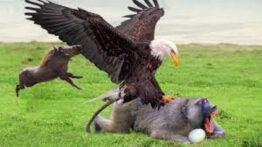 حیات وحش، حمله عقاب برای شکار بزرگ