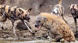 رازبقاء حیوانات وحشی حمله کفتار ها