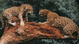 رفتار عجیب غریب حیوانات اهلی و وحشی در فصل جفت گیری