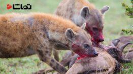 شکار حیوانات وحشی زنده خواری کفتار ها