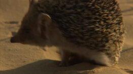 شکار مرگبار حیوانات – قدرت جوجهتیغی