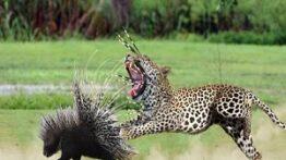 شکار مرگبار حیوانات – قدرت وحشتناک جوجهتیغی – حیات وحش