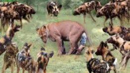 مستند حیات وحش، شیر در مقابل سگ های وحشی – راز بقاء