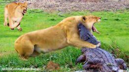 مستند زیبای شکار حیوانات وحشی توسط اسب آبی,مستند,حیوانات,شکار,حیات وحش,راز بقا