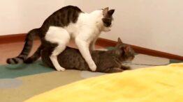 گربه در حال جفت گیری