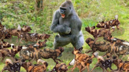 گوریل در مقابل سگ وحشی – شگفت انگیزترین حمله حیوانات