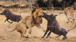 مستند حیات وحش – حملات شیرها به بوفالوها – جنگ حیوانات